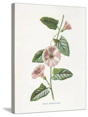 Field Convolvulus-Gwendolyn Babbitt-Stretched Canvas Print