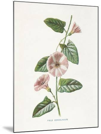 Field Convolvulus-Gwendolyn Babbitt-Mounted Art Print