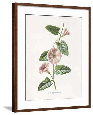 Field Convolvulus-Gwendolyn Babbitt-Framed Art Print