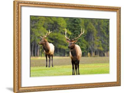 Male Elk or Wapiti (Cervus Canadensis) near Cascade Pond in Banff National Park Alberta Canada-Steve Meese-Framed Photographic Print