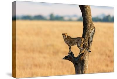 Young Cheetah in the Tree in Masai Mara, Kenya-Maggy Meyer-Stretched Canvas Print