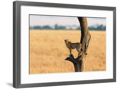 Young Cheetah in the Tree in Masai Mara, Kenya-Maggy Meyer-Framed Photographic Print