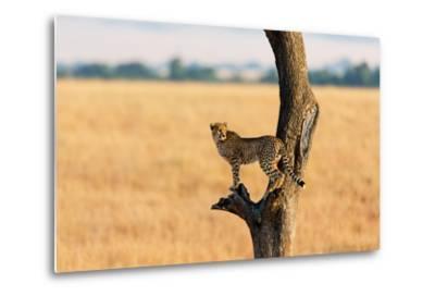 Young Cheetah in the Tree in Masai Mara, Kenya-Maggy Meyer-Metal Print