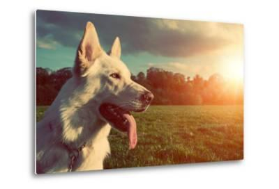 Gorgeous Large White Dog in a Park, Colorised Image-ABO PHOTOGRAPHY-Metal Print