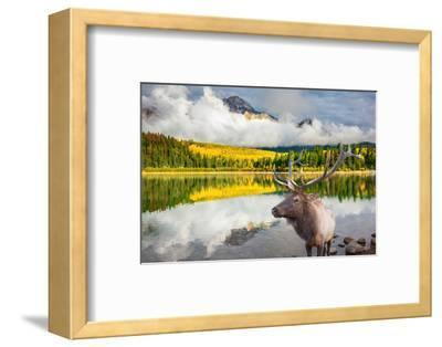 Jasper National Park in the Rocky Mountains of Canada. Proud Deer Antlered Stands on the Banks of T-kavram-Framed Photographic Print