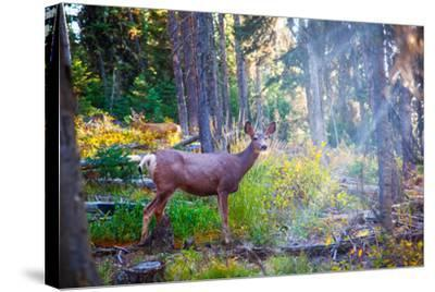 Deer Standing in Sunshine in Forest. Yellowstone National Park, Wyoming.-Lynn Y-Stretched Canvas Print