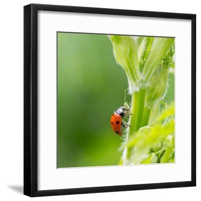 Macro of Ladybug (Adalia Bipunctata) Eating Aphids-Jolanda Aalbers-Framed Photographic Print