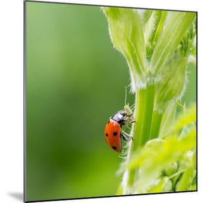 Macro of Ladybug (Adalia Bipunctata) Eating Aphids-Jolanda Aalbers-Mounted Photographic Print
