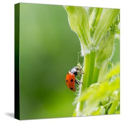Macro of Ladybug (Adalia Bipunctata) Eating Aphids-Jolanda Aalbers-Stretched Canvas Print