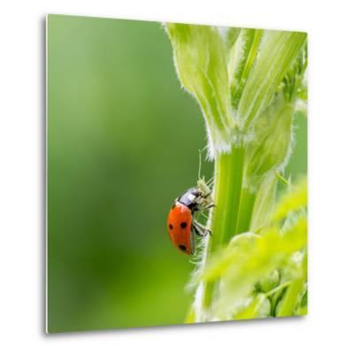 Macro of Ladybug (Adalia Bipunctata) Eating Aphids-Jolanda Aalbers-Metal Print