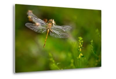 Beautiful Nature Scene with Butterfly Common Darter, Sympetrum Striolatum. Macro Picture of Dragonf-Ondrej Prosicky-Metal Print