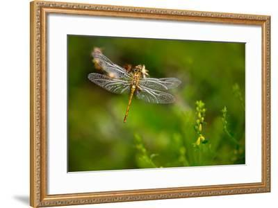 Beautiful Nature Scene with Butterfly Common Darter, Sympetrum Striolatum. Macro Picture of Dragonf-Ondrej Prosicky-Framed Photographic Print