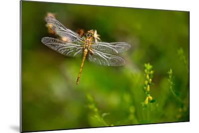 Beautiful Nature Scene with Butterfly Common Darter, Sympetrum Striolatum. Macro Picture of Dragonf-Ondrej Prosicky-Mounted Photographic Print