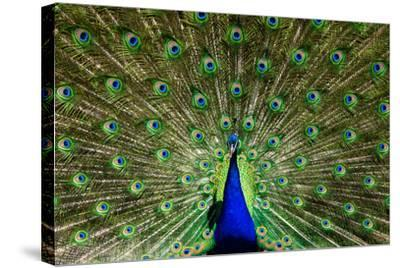 Natural, Symmetric and Colorful Male Peacock in Sunlight-Pascal Halder-Stretched Canvas Print