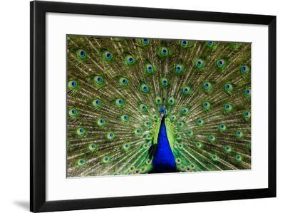 Natural, Symmetric and Colorful Male Peacock in Sunlight-Pascal Halder-Framed Photographic Print