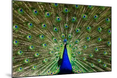 Natural, Symmetric and Colorful Male Peacock in Sunlight-Pascal Halder-Mounted Photographic Print