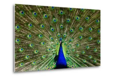 Natural, Symmetric and Colorful Male Peacock in Sunlight-Pascal Halder-Metal Print