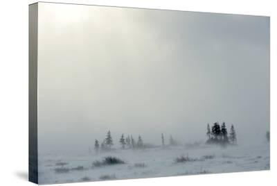 Snowstorm in Tundra Landscape with Trees. Low Visibility Conditions due to a Snow Storm in Tundra F-Sergey Uryadnikov-Stretched Canvas Print