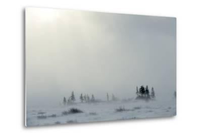 Snowstorm in Tundra Landscape with Trees. Low Visibility Conditions due to a Snow Storm in Tundra F-Sergey Uryadnikov-Metal Print