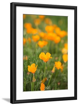 California Poppies-Karyn Millet-Framed Photo