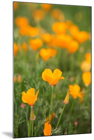 California Poppies-Karyn Millet-Mounted Photo