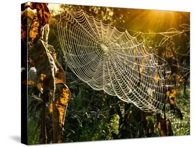 Strings of a Spider's Web in Back Light in Forest-Budimir Jevtic-Stretched Canvas Print