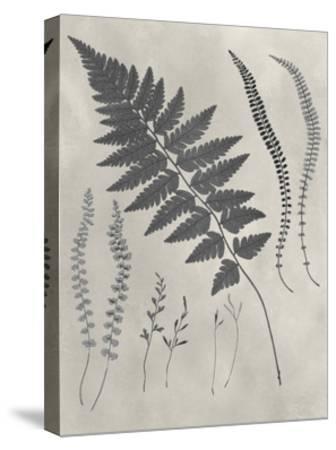 Vintage Fern Study II-Vision Studio-Stretched Canvas Print