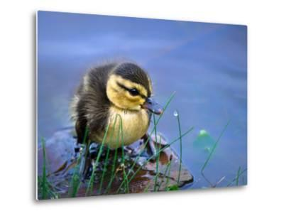 Newborn Duckling-Leena Robinson-Metal Print