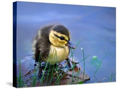 Newborn Duckling-Leena Robinson-Stretched Canvas Print