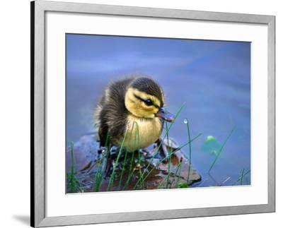 Newborn Duckling-Leena Robinson-Framed Photographic Print