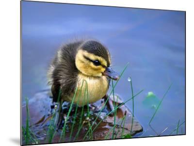 Newborn Duckling-Leena Robinson-Mounted Photographic Print