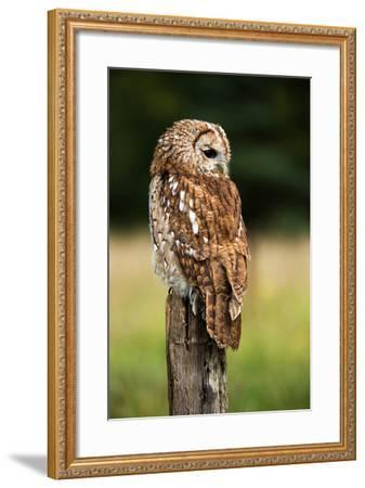 Tawny Owl on Fence Post against a Dark Background of Blurred Trees/Tawny Owl/Tawny Owl- davemhuntphotography-Framed Photographic Print