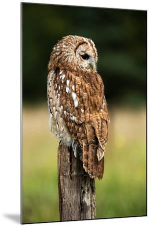 Tawny Owl on Fence Post against a Dark Background of Blurred Trees/Tawny Owl/Tawny Owl- davemhuntphotography-Mounted Photographic Print