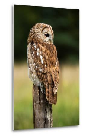 Tawny Owl on Fence Post against a Dark Background of Blurred Trees/Tawny Owl/Tawny Owl- davemhuntphotography-Metal Print