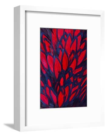 Beautiful Abstract Background Consisting of Red Hen Saddle Feathers-Keith Publicover-Framed Photographic Print