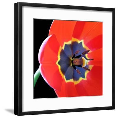 Red Tulip (Tulipa) - Liliaceae-Kev Vincent Photography-Framed Photographic Print