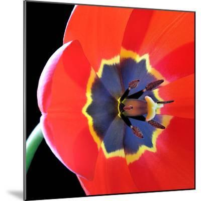 Red Tulip (Tulipa) - Liliaceae-Kev Vincent Photography-Mounted Photographic Print