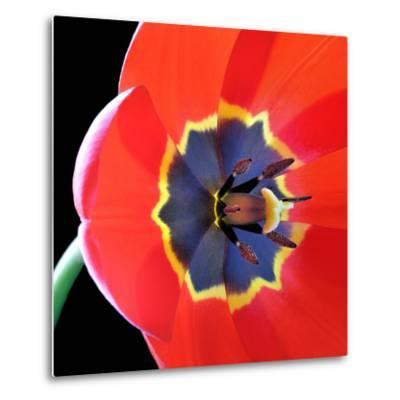 Red Tulip (Tulipa) - Liliaceae-Kev Vincent Photography-Metal Print