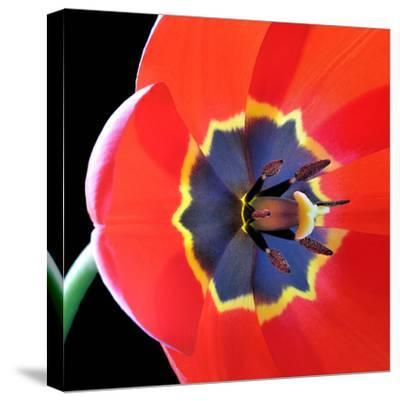Red Tulip (Tulipa) - Liliaceae-Kev Vincent Photography-Stretched Canvas Print