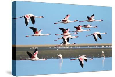 Lesser Flamingo, Phoenicopterus Minor. Photographed in Flight at the Wetlands South of Walvis Bay N- PicturesWild-Stretched Canvas Print
