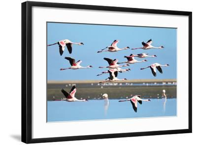 Lesser Flamingo, Phoenicopterus Minor. Photographed in Flight at the Wetlands South of Walvis Bay N- PicturesWild-Framed Photographic Print