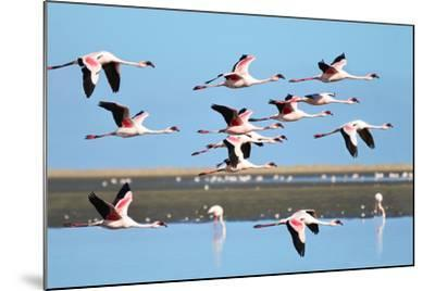 Lesser Flamingo, Phoenicopterus Minor. Photographed in Flight at the Wetlands South of Walvis Bay N- PicturesWild-Mounted Photographic Print