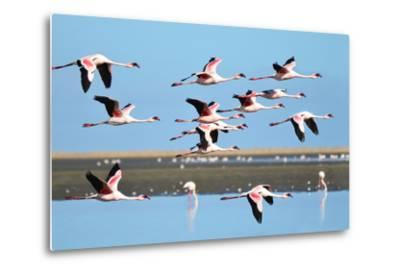Lesser Flamingo, Phoenicopterus Minor. Photographed in Flight at the Wetlands South of Walvis Bay N- PicturesWild-Metal Print