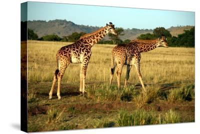 Giraffe Drinking in the Grasslands of the Masai Mara Reserve (Kenya)-Paul Banton-Stretched Canvas Print