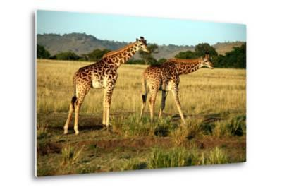 Giraffe Drinking in the Grasslands of the Masai Mara Reserve (Kenya)-Paul Banton-Metal Print
