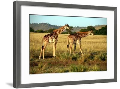 Giraffe Drinking in the Grasslands of the Masai Mara Reserve (Kenya)-Paul Banton-Framed Photographic Print