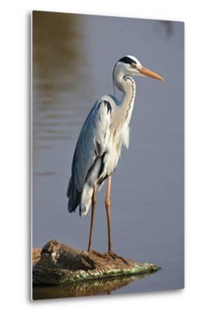 Grey Heron : Ardea Cinerea : South Africa-Johan Swanepoel-Metal Print