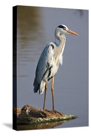 Grey Heron : Ardea Cinerea : South Africa-Johan Swanepoel-Stretched Canvas Print