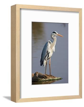 Grey Heron : Ardea Cinerea : South Africa-Johan Swanepoel-Framed Photographic Print