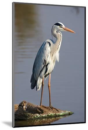 Grey Heron : Ardea Cinerea : South Africa-Johan Swanepoel-Mounted Photographic Print